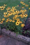 more rudbeckias
