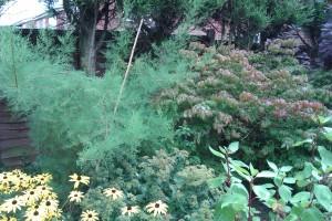 tamarix tree
