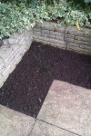 bed recently dug over and seeded with annual cornflowers