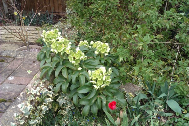 hellebores and tulip