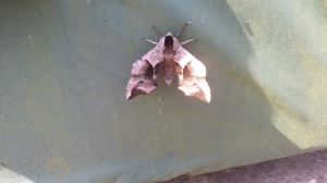 mysterious moth